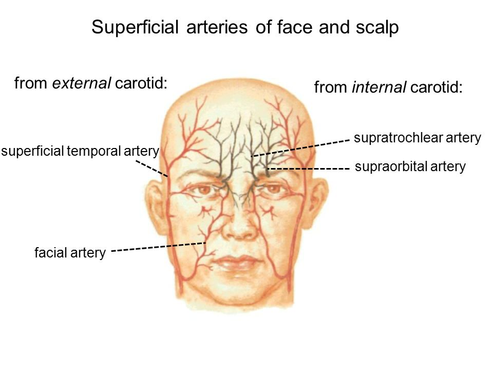 Superficial Face And Scalp - Ppt Video Online Downloadanatomy ...