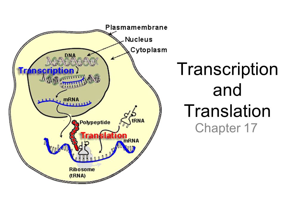 Mrna Transcription Diagram - Wiring Diagrams