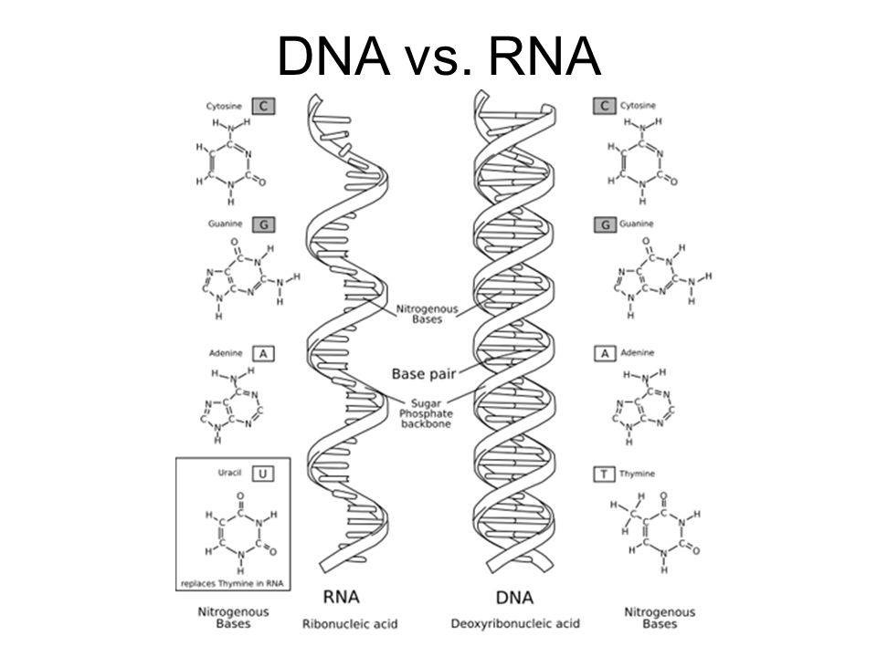 gene vs dna vs rna diagram