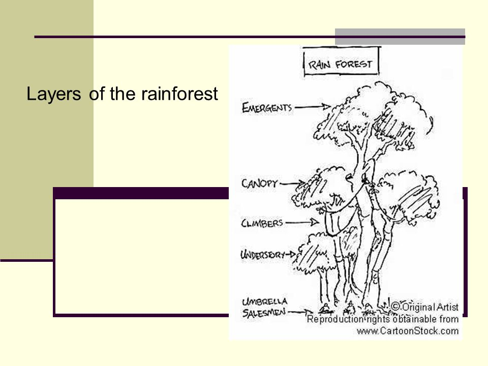 Layers of the rainforest - ppt video online download