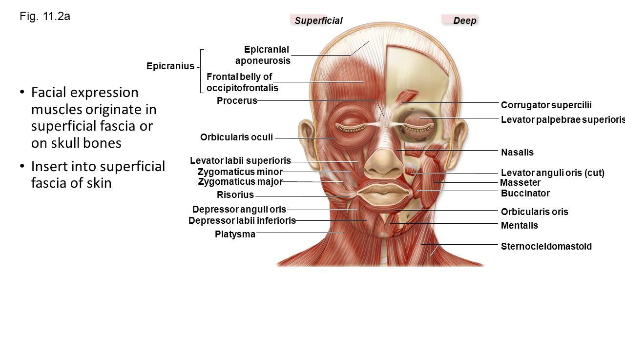 face muscle diagram