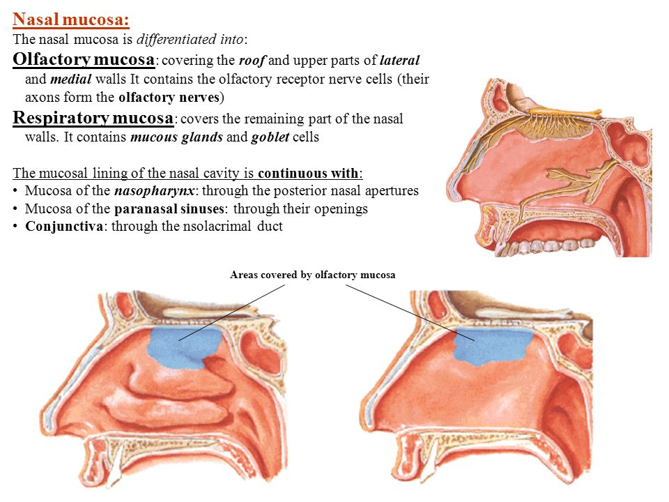Nasal cavity Boundaries of the nasal cavity Roof formed by - ppt