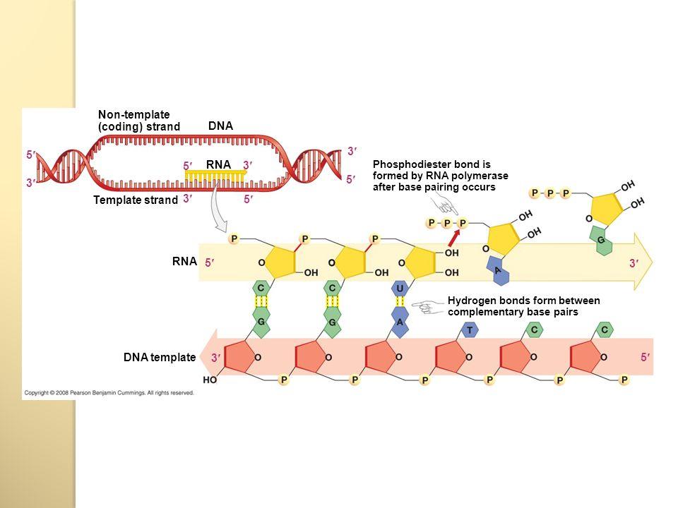 TRANSCRIPTION AND TRANSLATION  GENETIC CODE - ppt download