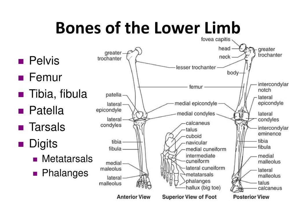 diagram of lower limb bones