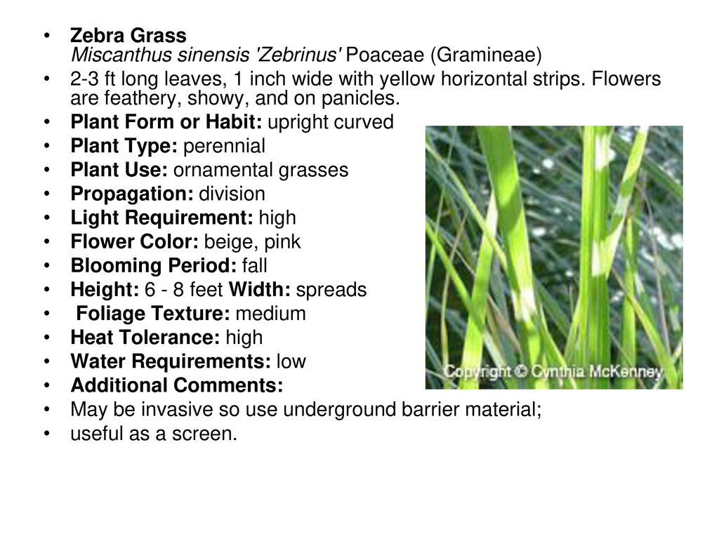 Zebra Chinaschilf Miscanthus Sinensis Zebrinus Garten U Steve Chaney Extension Horticulturist Tarrant County Ppt Download