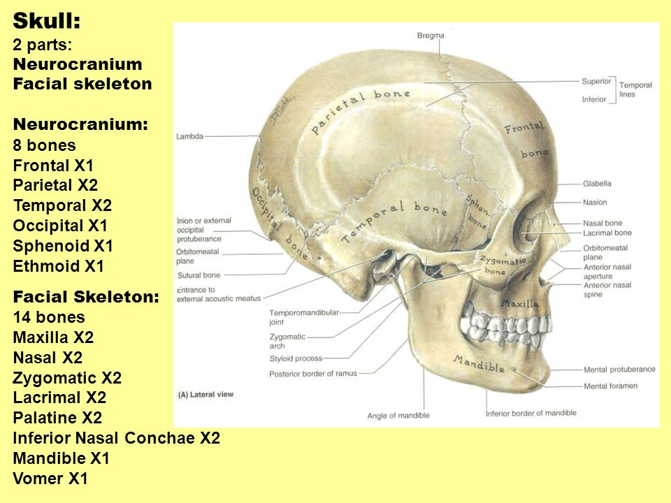 Muscles and regional anatomy of the head and neck and the back - ppt