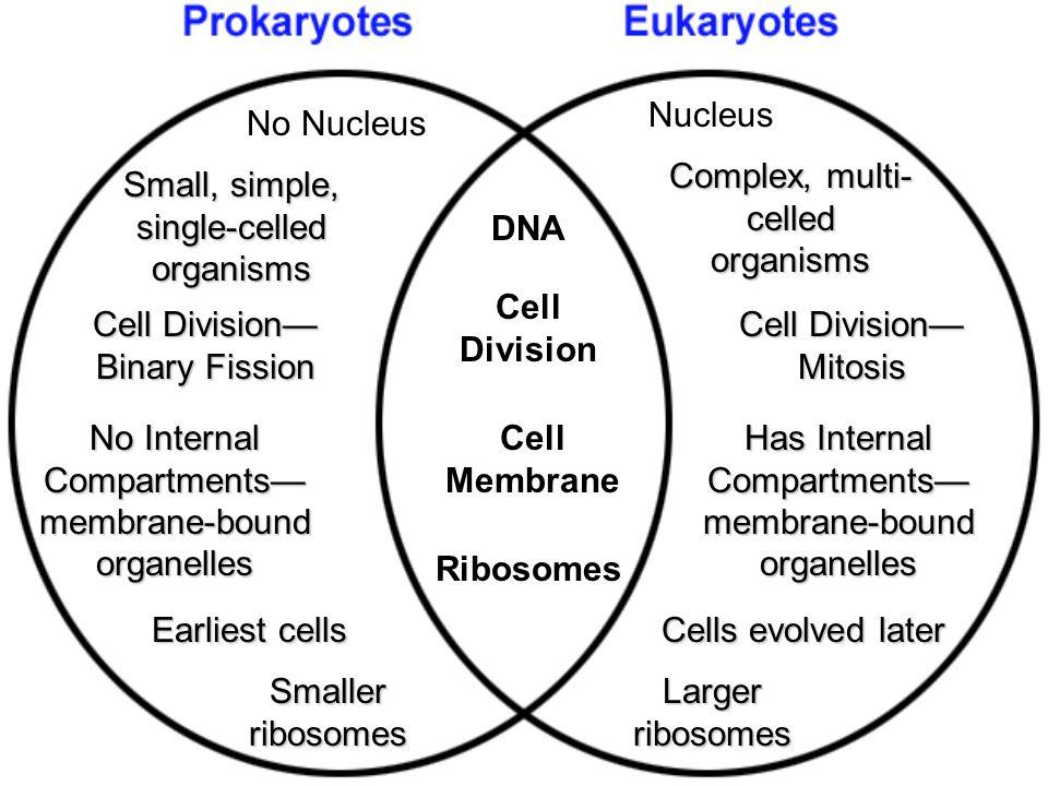 Prokaryotes Vs Eukaryotes Venn Diagram - Diagram For You