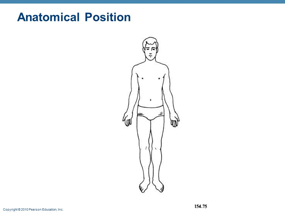 Standard anatomical body position - ppt video online download - anatomical position