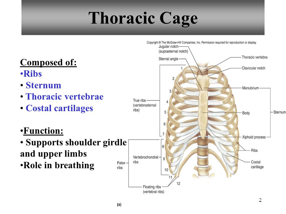 Thoracic Diagram To Label Index listing of wiring diagrams
