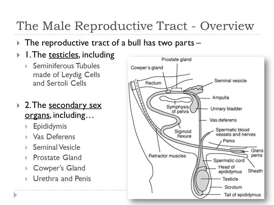 Male Reproductive Anatomy of Cattle - ppt video online download