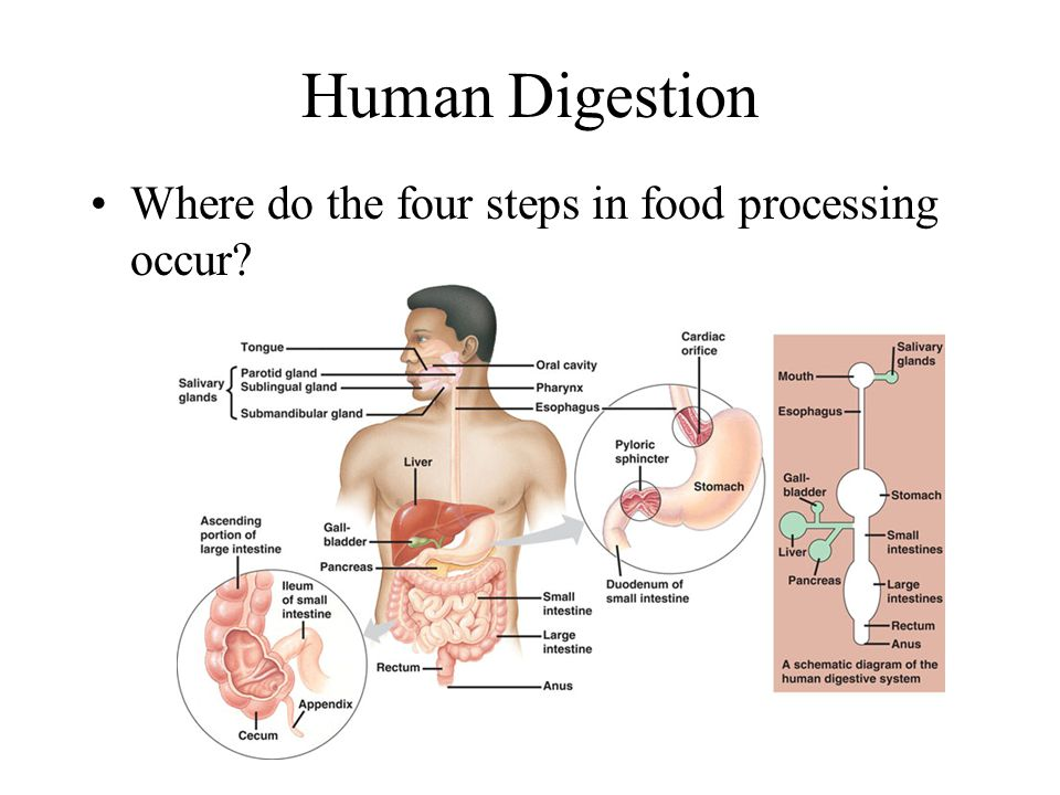 Digestion AP Biology Unit ppt video online download