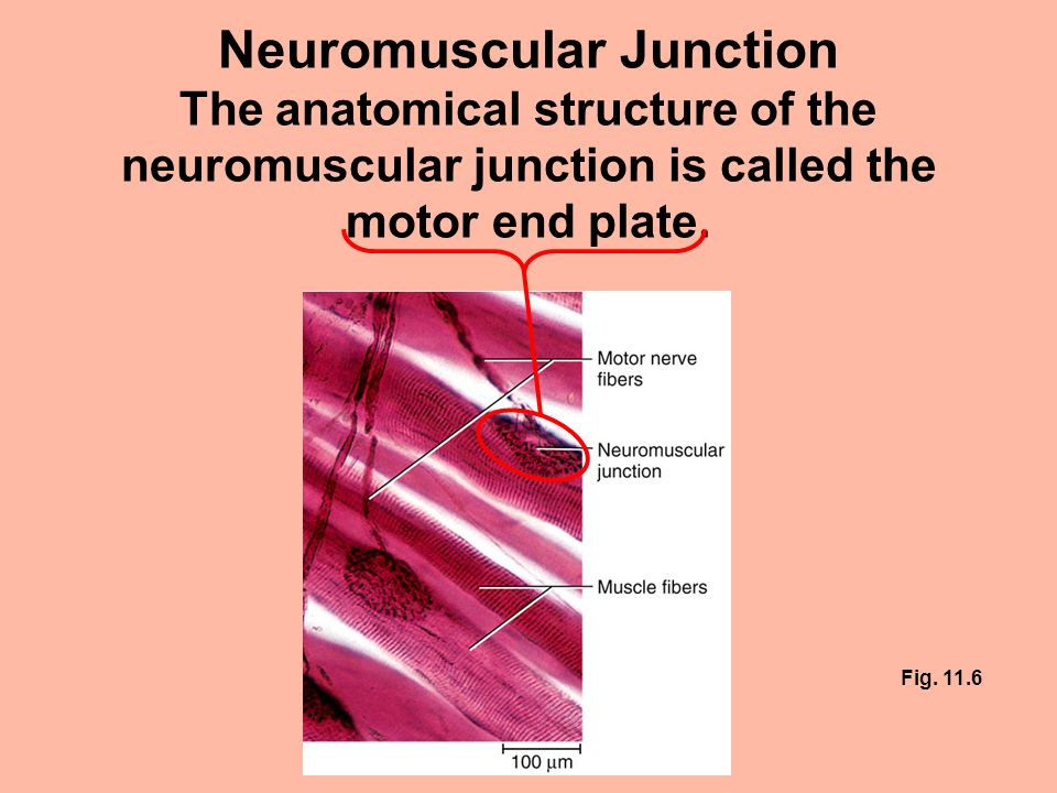 Neuromuscular junction self quiz answers Essay Help - neuromuscular junction