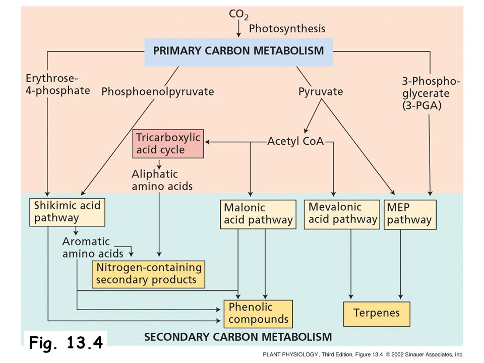Ch 13 Secondary metabolism and plant defense - ppt video online
