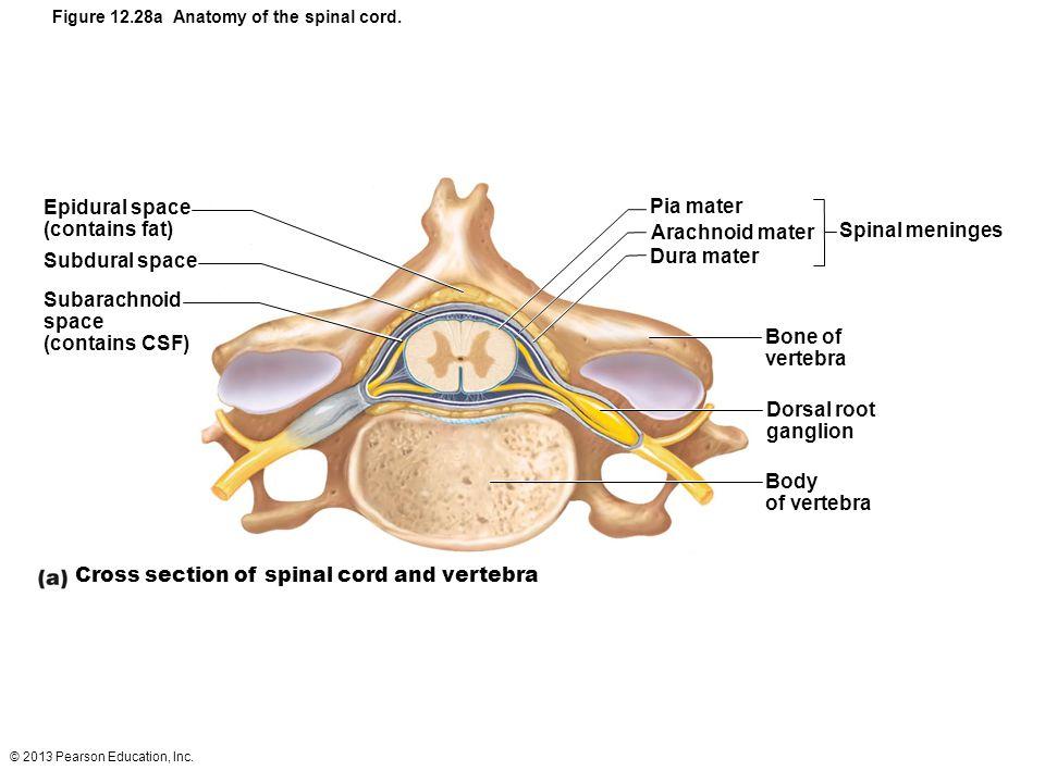 12 The Central Nervous System Part D - ppt video online download