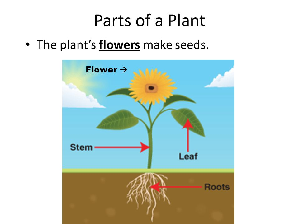 The Life Cycle of a Plant - ppt download