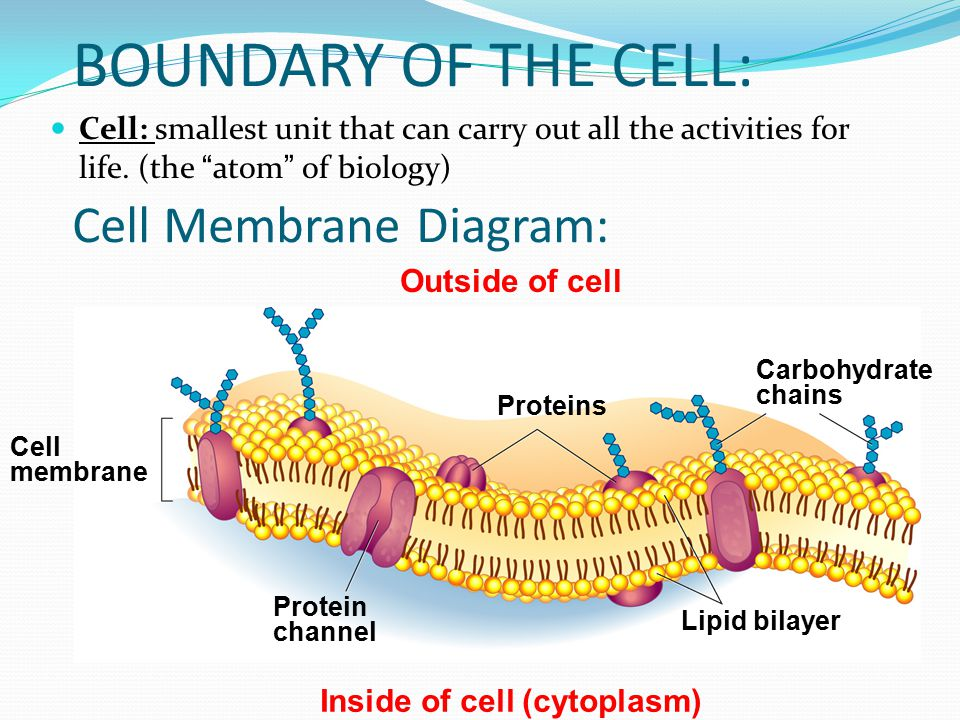 Cell Membrane  Passive Transport - ppt download
