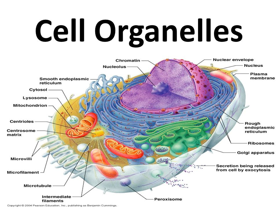 Cell Organelles - ppt video online download