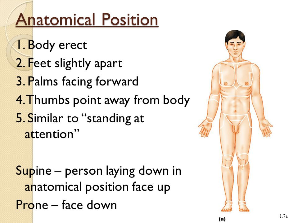 Chapter 2 The Language of Anatomy - ppt video online download - anatomical position