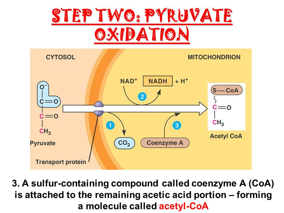 CH 2 CELLULAR RESPIRATION - ppt download