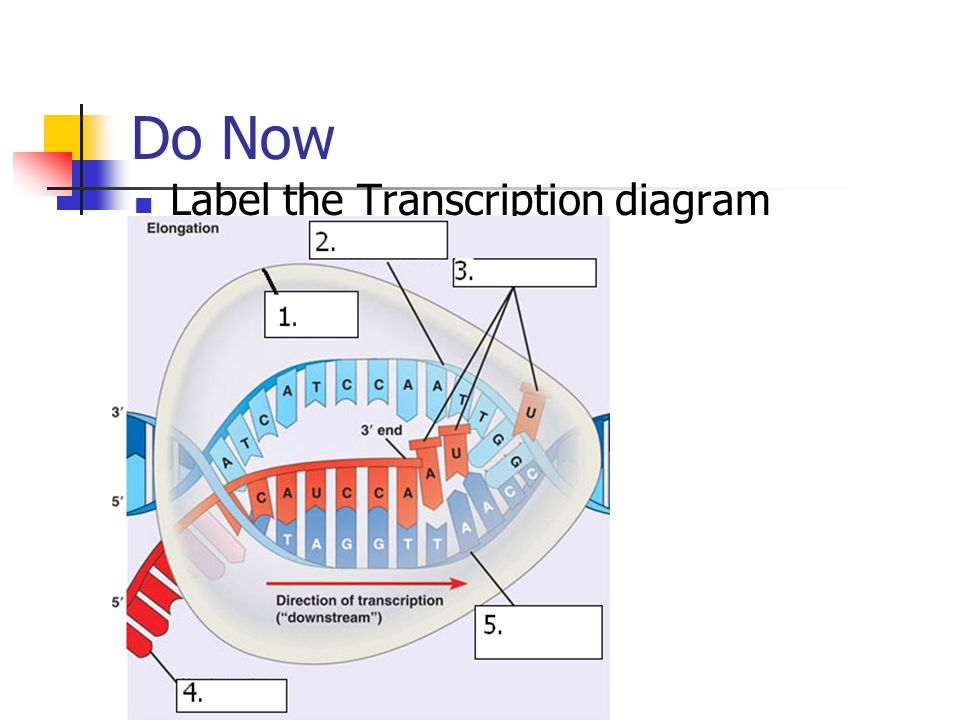 DNA Transcription and Translation - ppt download