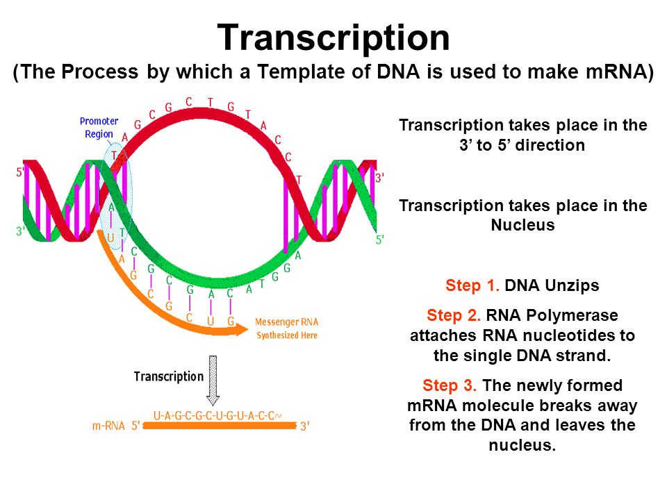 The Structure of RNA RiboNucleic Acid - ppt video online download