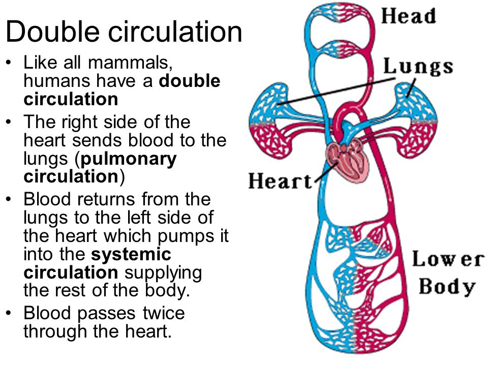 Circulation for GCSE Biology - ppt download