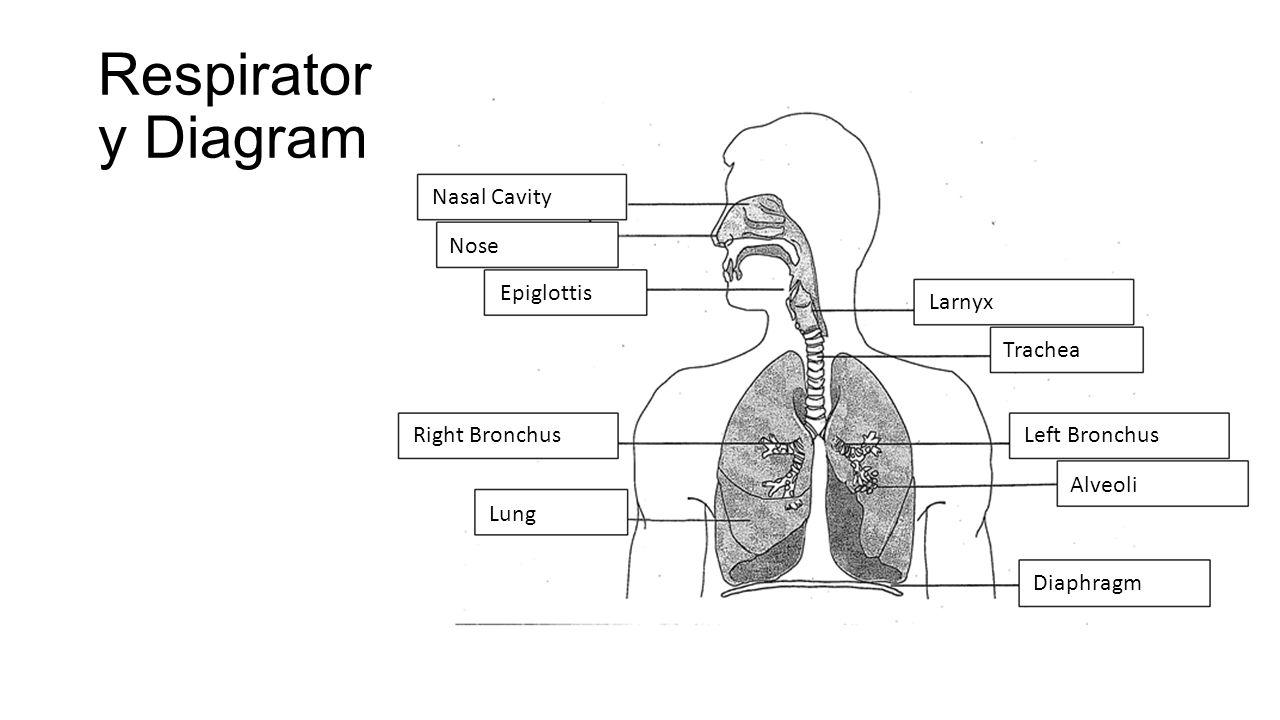 pulmonary vein body diagram