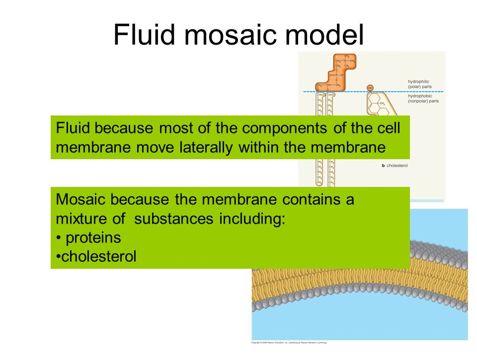 Membrane structure and function - ppt download