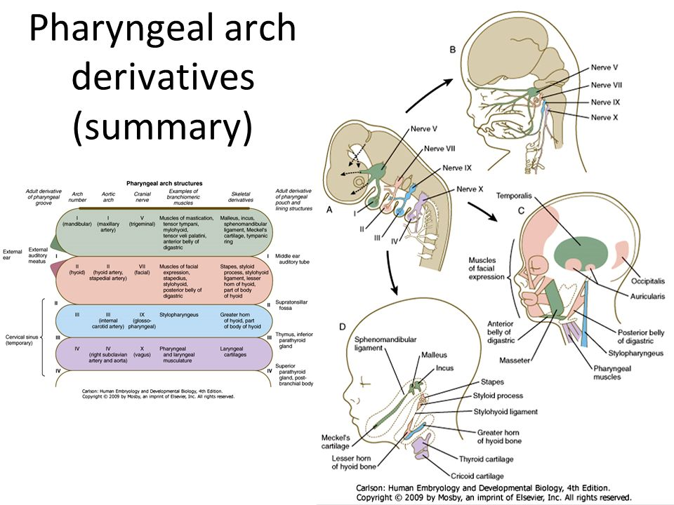 Craniofacial and Pharyngeal Arch Development - ppt video online download
