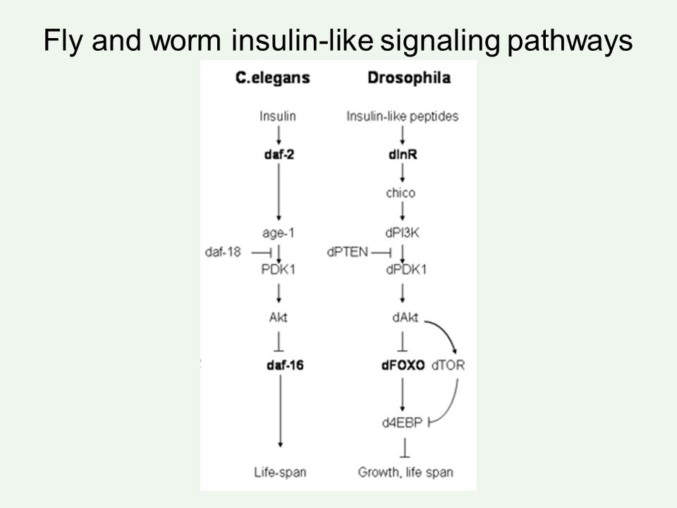 Insulin-like signaling pathway flies and mammals - ppt video online