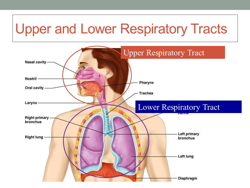 Respiratory System Objectives - ppt video online download