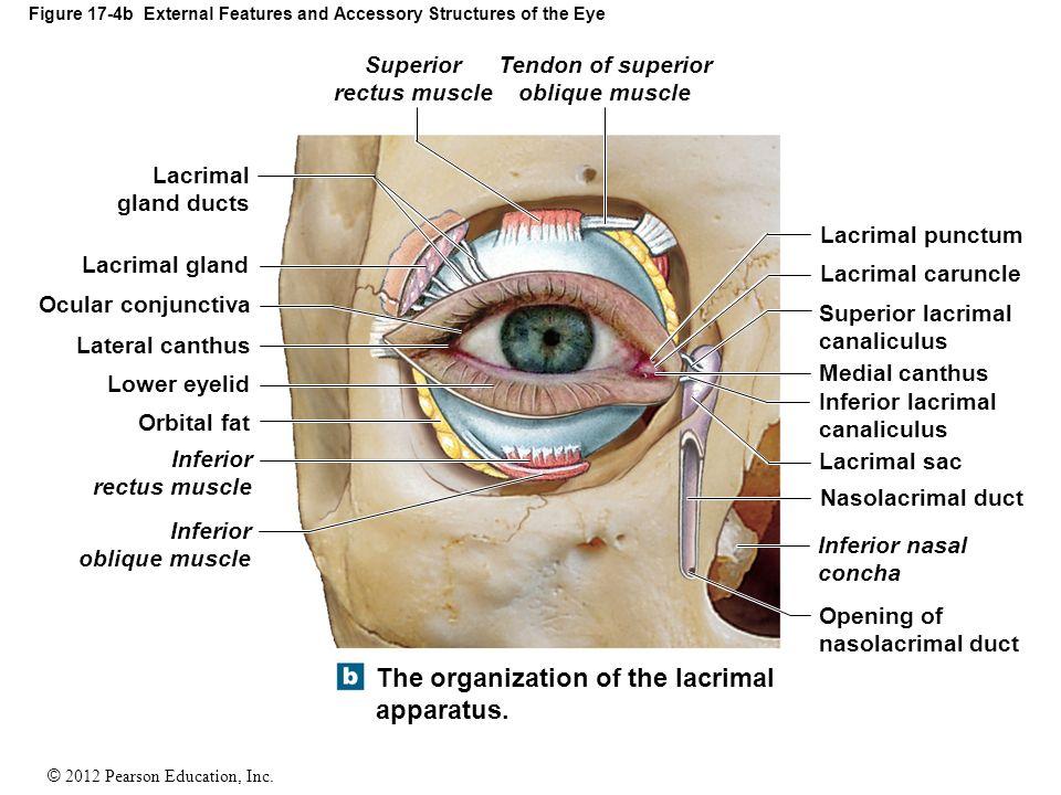 Lacrimal Apparatus Dnio