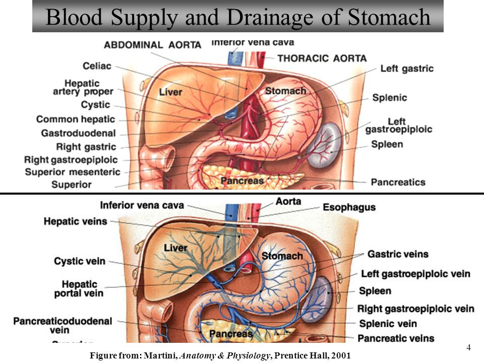 Anatomy and Physiology Part 3 Stomach and Stomach Control - ppt