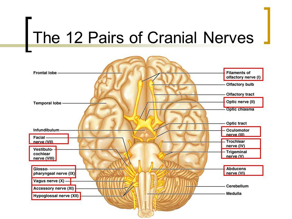 Cranial Nerves - ppt download