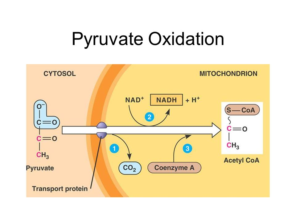 Pyruvate Oxidation The Citric Acid Cycle - ppt video online download