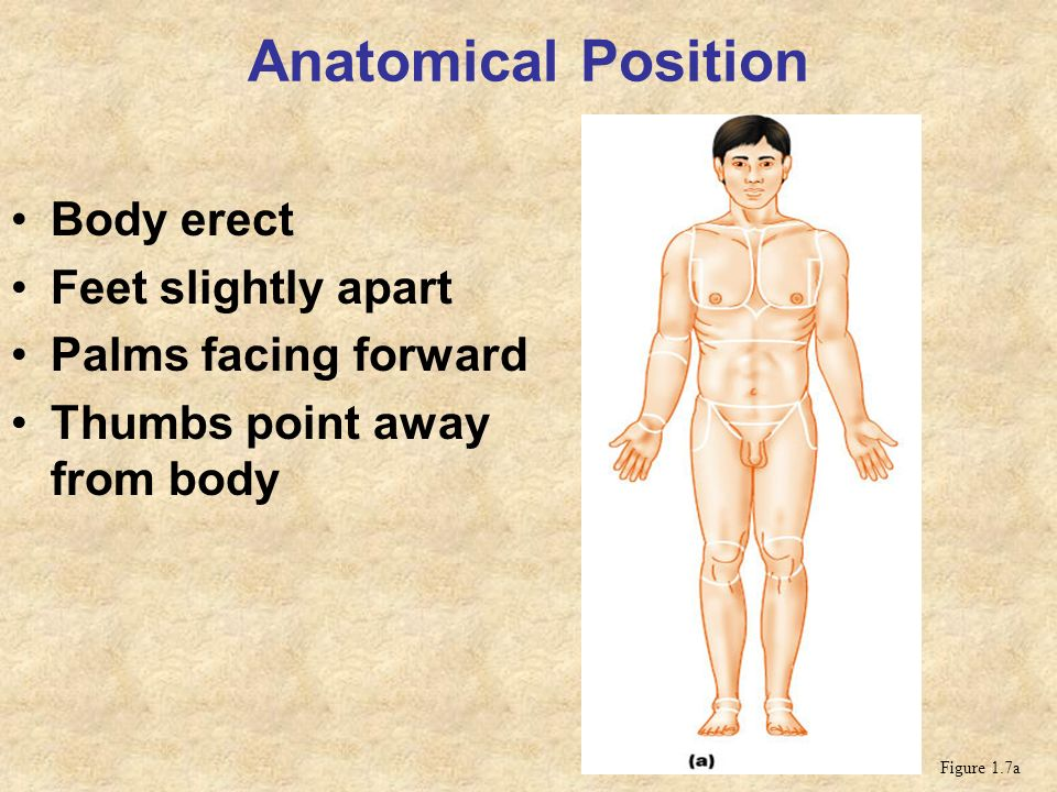 Anatomical Position Body erect Feet slightly apart - ppt video