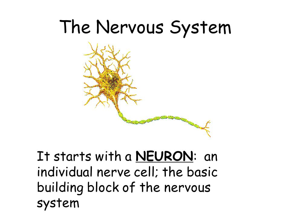 electrical messages in the nervous system