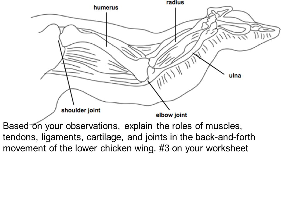 chicken wing diagram to human arm bones