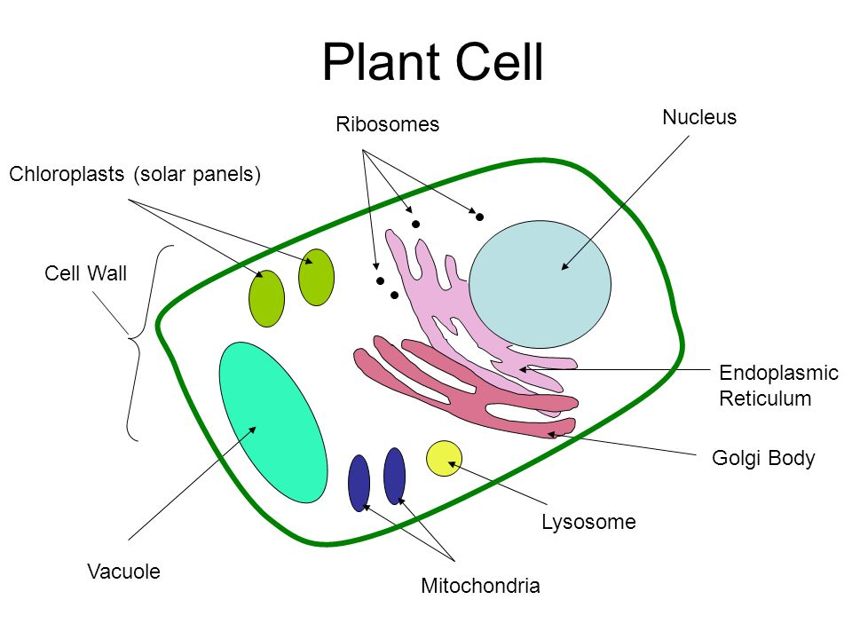 Ribosomes A Cell Diagram Wiring Diagram