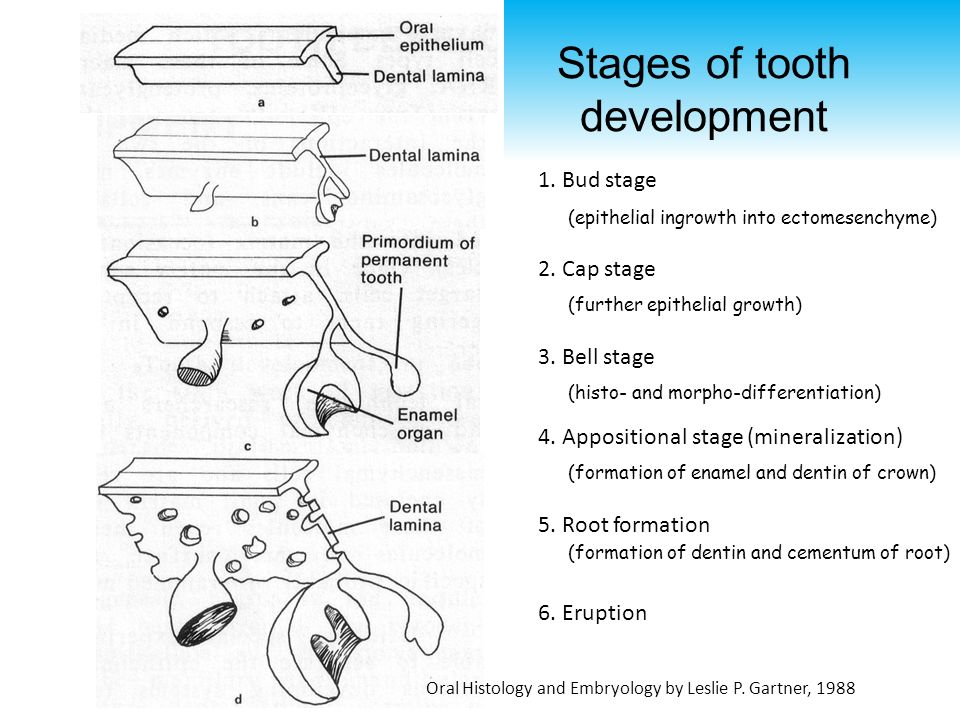 Tooth Development - II Man-Kyo Chung, DMD, PhD - ppt video online