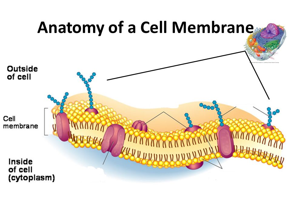 Cell Membrane Structure and Function - ppt video online download