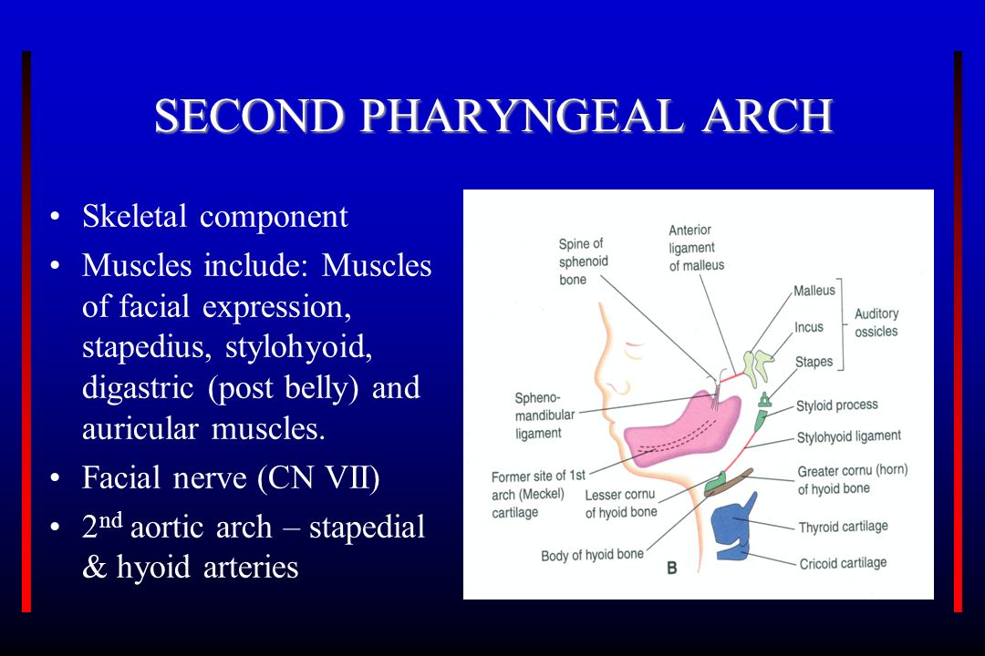 THE PHARYNGEAL APPARATUS - ppt video online download