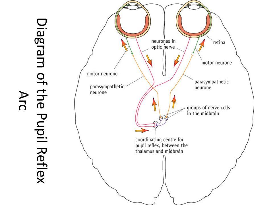 diagram a reflex arc