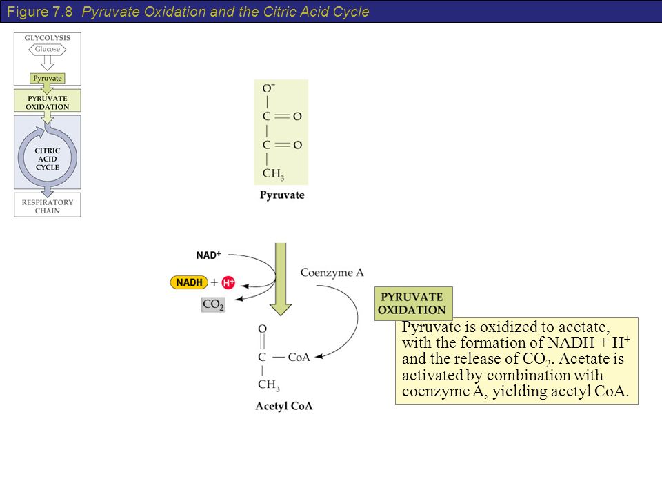 Figure 78 Pyruvate Oxidation and the Citric Acid Cycle - ppt video