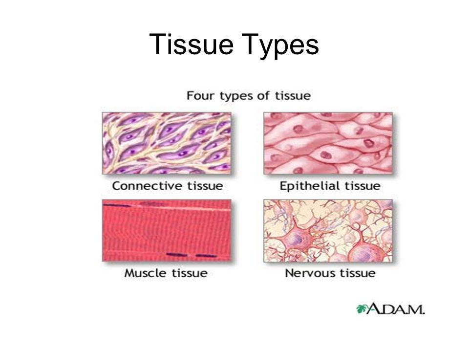 Tissue Types - ppt video online download