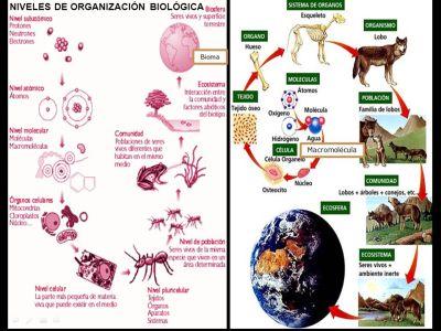 NIVELES DE ORGANIZACIÓN BIOLÓGICA - ppt video online descargar
