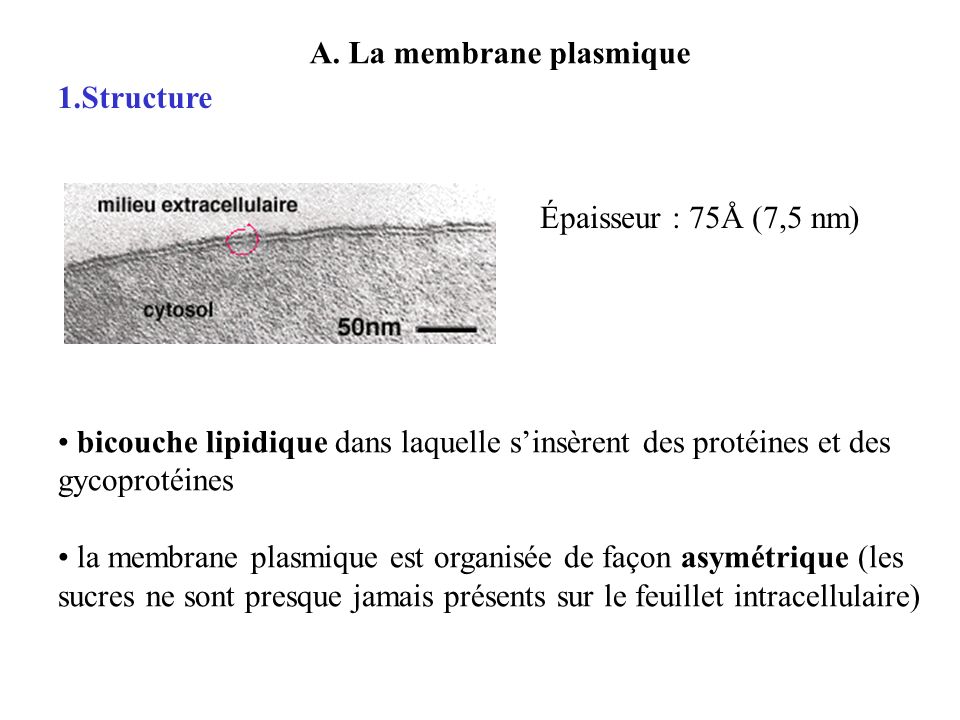Barriere Exterieur La Cellule Introduction La Membrane Plasmique Structure