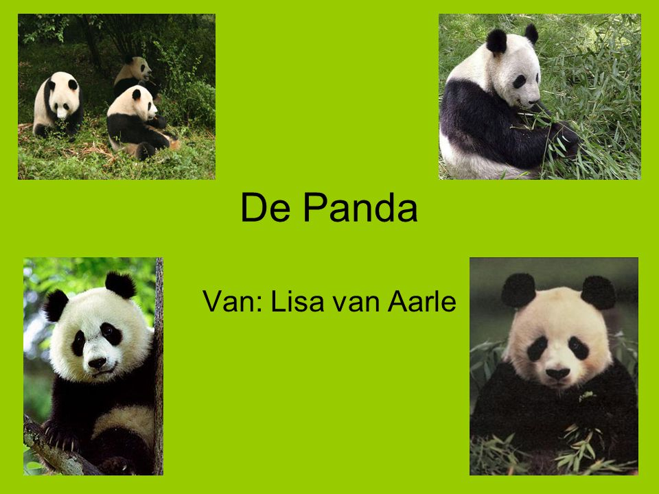 Panda Leefgebied De Panda Van: Lisa Van Aarle. - Ppt Video Online Download