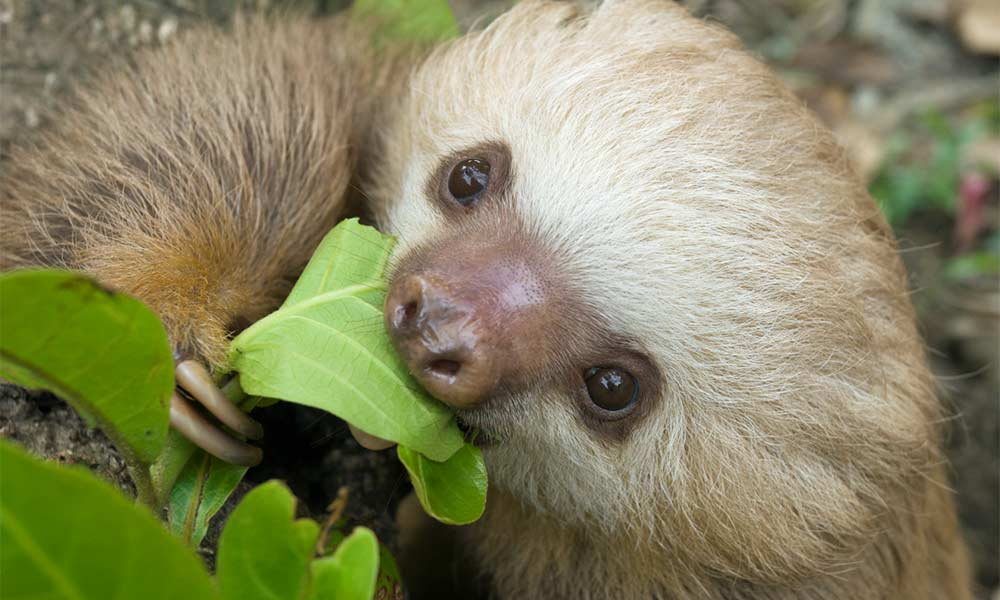 Cute Sloth Wallpaper Two Fingered Sloths The Sloth Conservation Foundation