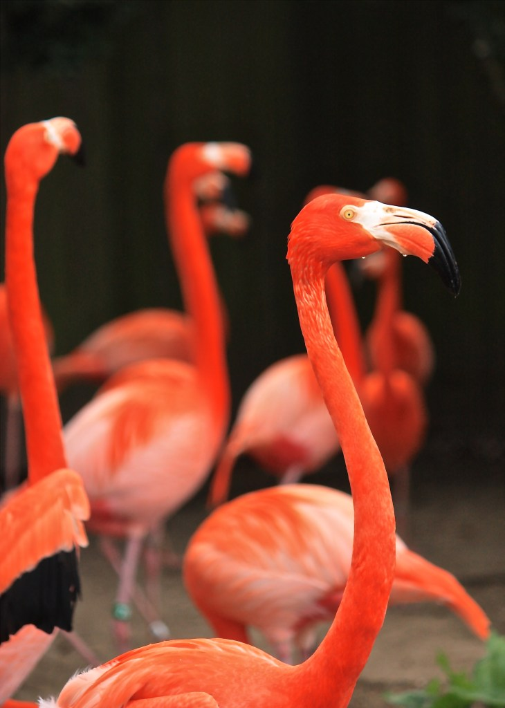 flamingos at the Audubon zoo